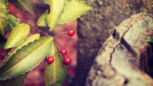 冬に赤い実